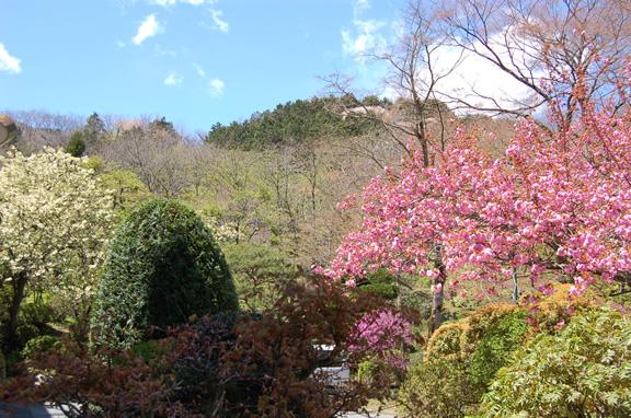 ウコン桜カンザン