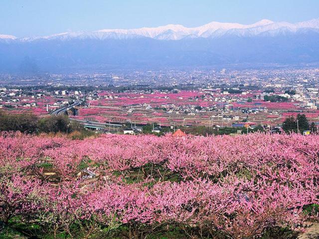 画像:春は甲府盆地が桃源郷となります