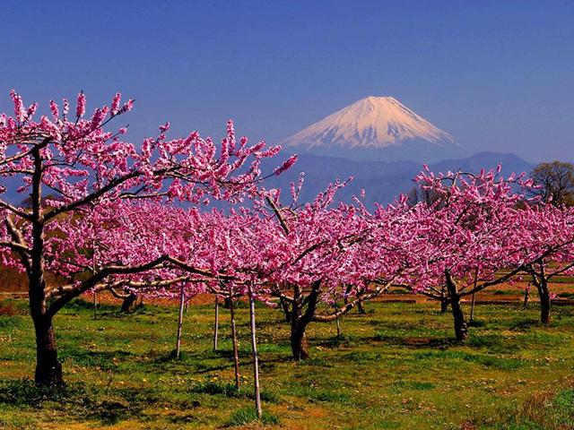 画像:富士山と桃畑