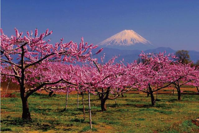 画像:富士山と桃の花(写真提供:やまなし観光推進機構)