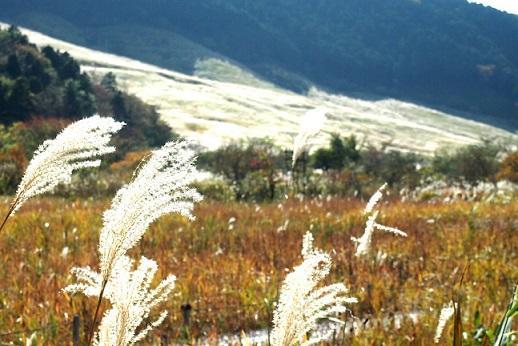 画像:仙石原のススキ