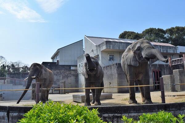 画像:アフリカゾウ(写真提供:愛媛県立とべ動物園)